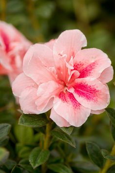 Encore Azalea Autumn Belle Bicolor (Pink and White) Blooms - Live Evergreen Shrub Evergreen Shrubs, Flowering Shrubs, Azalea Shrub, Low Growing Shrubs, Fast Growing, Azalea Color, Virtual Flowers, Purple Wisteria, Plant Zones