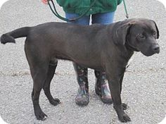 Pictures of Smokey a Boxer/Labrador Retriever Mix for adoption in Anniston, AL who needs a loving home.