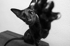 You said you wanted a picture? Well, here take this one! Black Siamese Cat, Siamese Cats, Black Cats, Cats And Kittens, Animals And Pets, Funny Animals, Cute Animals, Pretty Cats, Cute Cats