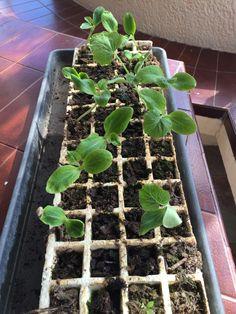 calabacin semillero
