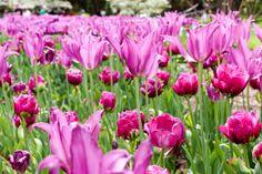 Longwood Gardens - Tulips -Kennett Square, Pennsylvania - Travel