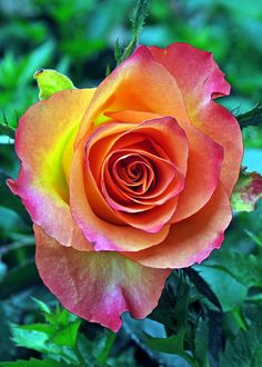 Amazing color of this beautiful Rose! Beautiful Rose Flowers, Unusual Flowers, Love Rose, Amazing Flowers, Colorful Flowers, Orange Roses, Red Roses, Ronsard Rose, Rose Pictures