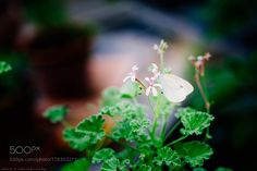 Geranium and cabbage butterfly by BuchioTakano