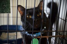 """SYLVESTER IS URGENT!!!  Adopt, rescue, foster, share information with other cat lovers who can also share until we find the person who can get him out of the ac facility and to his forever home! Save a life and make a friend for life - because every life matters. """"I am Hopefully Yours ~ Sylvester ♥ """"  In Mullins, SC- Marion Co. Animal Shelter  ID# 130098  Approx.Age: 2 y/o  Weight: 11 lbs  Suspected breed(s): DSH  FIV/FeLV Status: Negative  Sex: Male  Turned in by 'owner',  Already neutered!"""
