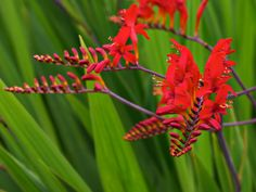 """Crocosmia 'Lucifer' - Flame-red flowers, sword-like foliage. Crocosmia are hardy plants that produce clumps of green sword-shaped leaves, with tall, arching spikes of funnel-shaped blossoms appearing in mid to late summer - 36-42"""" - Full-sun - Blooms - mid-summer to late-summer - Attracts butterflies and hummingbirds - Great for cut flowers"""