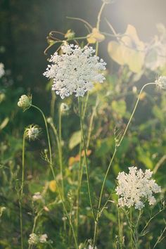 queen annes lace white weed = use as filler                                                                                                                                                                                 More