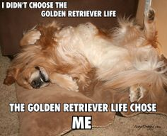 The golden retriever life!