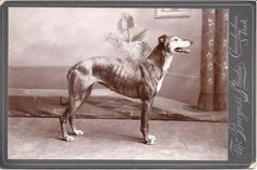 "This Greyhound was photographed in the Burgess Studio, Chamberlain, South Dakota c. 1900. The name ""Dandy"" is penciled on the back side. Note the false backdrop painted in perspective complete with a plant, artwork, drape and rug!"