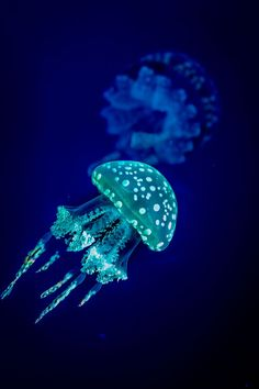 This jellyfish looks like a lil mushroom lol. Bioluminescence © Angelo N. Jellyfish Tank, Jellyfish Aquarium, Jellyfish Quotes, Jellyfish Facts, Aquarium Fish, Blue Jellyfish, Marine Aquarium, Beautiful Sea Creatures, Deep Sea Creatures
