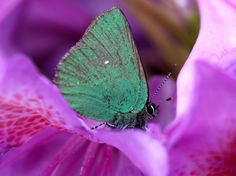 http://images.nationalgeographic.com/wpf/media-live/photos/000/655/cache/butterfly-rhododendron_65514_990x742.jpg
