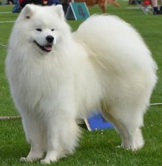 Some Helpful Ideas For Training Your Dog. Loving your dog does not mean you are willing to let him go hog wild on your possessions. That said, your dog doesn't feel the same way. Funny Animal Pictures, Dog Pictures, Fluffy Animals, Cute Animals, Dog In Spanish, Husky, Cute Pomeranian, Samoyed Dogs, Old Dogs
