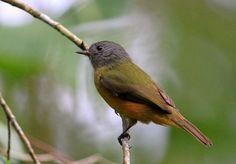 Grey-hooded Flycatcher (Mionectes rufiventris)  Abre asa de cabeça cinza  Locality Itanhaém, São Paulo State, Brazil