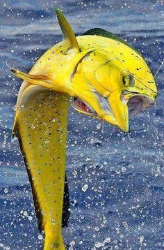 Yellow Mahi Mahi AKA Dolphinfish