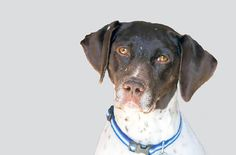 We'd like you to meet Katie, our Adoptable Dog of the Week from Adoptapet.com. Katie is a female adult German Shorthaired Pointer from Omaha, Nebraska. She is already spayed, purebred, good with kids, good with dogs, and not good with cats.