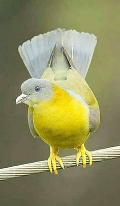 Rare Birds, Exotic Birds, Colorful Birds, Most Beautiful Birds, Pretty Birds, Beautiful Creatures, Animals Beautiful, Green Pigeon, Dove Pigeon