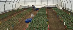 Spinach is a suitable crop for winter production in New Hampshire due to its ability to continue producing saleable leaves at very low-temperatures. Fall transplants into high tunnels can result in winter-long harvests and significant spring yields, providing an avenue for growers to meet strong consumer demand
