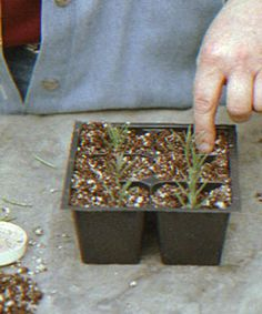 Growing Rosemary - Place the stem in a mixture of damp peat moss and perlite.