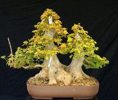 Bonsai Tree Specimen Imported from Japan Trident Maple TMSTQ453-509 #bonsaitree