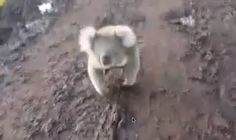 YOU COULDN'T BE MORE WRONG. LOOK AT THIS HORROR. | This Video Of A Bloodthirsty Koala Chasing A Woman Is Terrifying