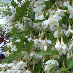 Styrax japonicus 'Fragrant Fountain' Tree (PP#19,664)  Weeping habit is ideal for growing over walls and fences.  Absolutely essential for the partly shaded garden, this Japanese Snowball regales you with hundreds of thousands of parachute-shaped white blooms -- marvelously fragrant! -- for 5 months or more.