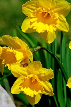 "http://pinterest.com/pin/create/button/?url=http://fineartamerica.com/featured/yellow-daffodils-and-honeybee-kay-novy.html=http://fineartamerica.com/images-medium/yellow-daffodils-and-honeybee-kay-novy.jpg  ""Daffodils And Honeybee"" by #Kay Novy.  http://kay-novy.artistwebsites.com/featured/yellow-daffodils-and-honeybee-kay-novy.html"