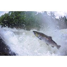 Photograph by @thomaspeschak Salmon gather and rest in deeper water before tackling waterfalls in their annual migration. They are capable of spectacular leaping feats as they ascend rivers to spawn. Canada's Great Bear Rainforest is home to thousands of such fragile watercourses that are critical to ensuring the next generation of salmon. #Gitgaat territory #cetacealab @thephotosociety @natgeo @natgeocreative @saveourseasfoundation @pacificwild by natgeo