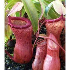 Nepenthes Ventricosa Seeds (Highland Nepenthes Seeds)