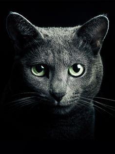 Russian Blue Cat http://represent.com/kittenshirt