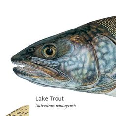 Lake Trout. Illustrated and © by Joseph R. Tomelleri.