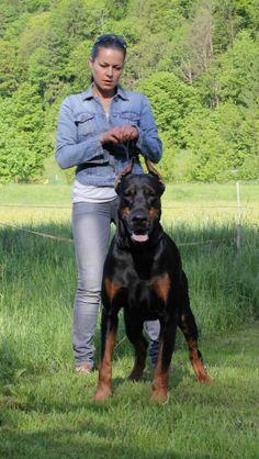 Giant Dob Beautiful Dogs, Animals Beautiful, Dogs Online, Doberman Pinscher Dog, Doberman Love, Amor Animal, War Dogs, Large Dog Breeds, Rottweiler