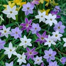 Spring Starflower Bulb Mix, Ipheion uniflorum, Spring Starflower