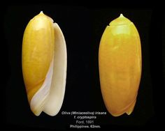 oliva (miniaceoliva) irisans