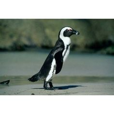 African Penguin Cape Peninsula South Africa Canvas Art - Kevin Schafer DanitaDelimont (18 x 12)