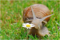 Weinbergschnecke (Helix pomatia)  wie bekämpft man Schnecken? wie baut man Schneckenfallen? was muß man über die Weinbergschnecke wissen, und was ist eine Spanische Wegschnecke? Mehr lesen: http://www.tomatetomate.eu/schnecken-bekampfen-im-garten/