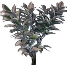 Ruscus Metallic Silver Flower Filler adds an elegance to the event either its your wedding or any other special occasion. So to book your bunch of beautiful silver Flower Fillers please call Flowers Online, All Flowers, Green Flowers, Silver Flowers, Manzanita Branches, Star Of Bethlehem, Magnolia Leaves, Seeded Eucalyptus, Agapanthus