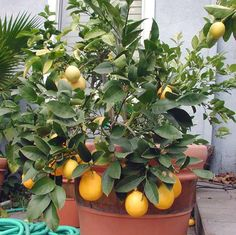 Grow a Dwarf Meyer Lemon Tree in a Container - as soon as I live somewhere that gets light...