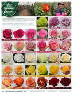 Beautiful Rose Flowers, Amazing Flowers, Fresh Flowers, Exotic Flowers, Purple Flowers, Wild Flowers, Different Types Of Flowers, Types Of Roses, Rose Color Meanings