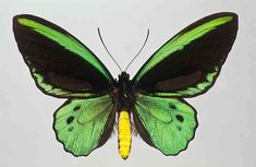 The Richmond Birdwing is one of Australia's largest and most spectacular butterflies. The drab-coloured females are huge, with a wingspan of nearly 15 centimetres, but it's the black and metallic green males that are truly eye-catching. The Richmond Birdwing occurs only in rainforest in south-east Queensland and north-east New South Wales.