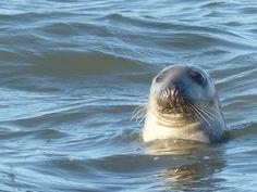 Grey seal, Ross Bay, December 2016.