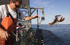 Ocean Warming Blamed For Northward Shift In Lobster Population