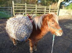 Shetland ponies as light draft animals