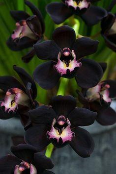 Cymbidium Kiwi Midnight 'Geyserland'...I must do a flower arrangement with these.  #Insane #Beautiful