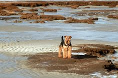 Airedale Sailor strikes a pose on Boat Meadow Beach.  Read more: http://www.rd.com/slideshows/dogs-on-cape-cod/view-all/#ixzz3jlXPKAxR