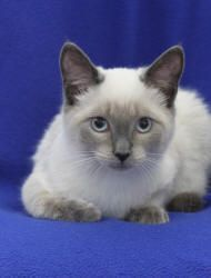 seal point Siamese mix