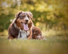 15 dog breeds that making training a breeze: Sit, stay, fetch! Quiet Dog Breeds, Old Dog Quotes, 15 Dogs, Dog Behavior, Training Your Dog, Australian Shepherd, Little Dogs, Dog Owners, Dog Mom
