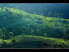 Tea Green    Tea Estate at Haputhale. Sri Lanka