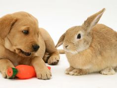 Labrador puppy and easter bunny friends! #puppy #easter #bunny