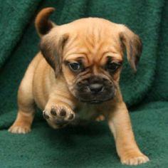 I'm a Pug + Beagle = Puggle.I'm adorable! Puggle Puppies For Sale, Cute Puppies And Kittens, Cute Dogs, Dogs And Puppies, Animals And Pets, Cute Animals, Pug Beagle, Cat Enclosure, Interesting Animals