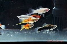 Get Started Today Learning How To Fish! Aquarium Fish For Sale, Tropical Aquarium, Aquarium Fish Tank, Tropical Fish, Fish Tanks, Swordtail Fish, Goby Fish, Guppy, Beautiful Fish