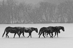 Snow Horses, Red Wing MN. Red Wing Mn, In Another Life, Horse Stuff, Equestrian, Moose Art, Snow, Horses, Black And White, Animals